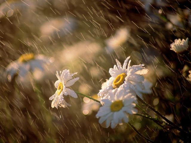 lluvia-sobre-margaritas